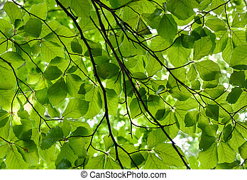 Sunlit beech leaves - Fresh green leaves backlit by the sun...