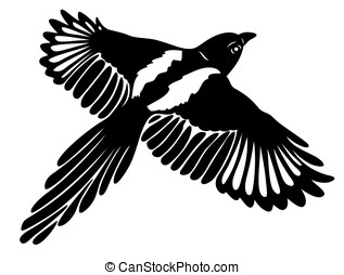 Magpie, wings - Great magpie in flight, with large wings