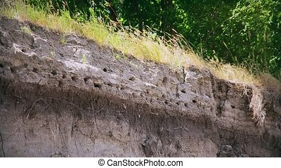 Colony of swallows or swift birds on river bank - Colony of...