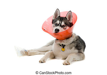 Sick Puppy - Siberian Husky puppy wearing an e-collar...