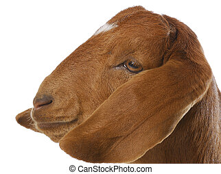 goat portrait - goat - south african boer goat doeling on...