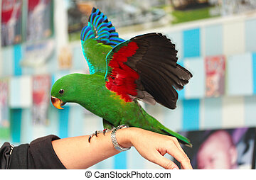 Male Eclectus Parrot, age two months. - Male Eclectus...