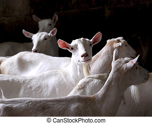 dairy goat herd on a farm - purebred saneen