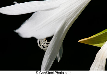 bloom - Hostas in bloom