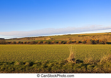 yorkshire wolds autumn colors - larch and pine trees in an...