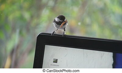 chickadee on a monitor - a chickadee enters the house, gets...