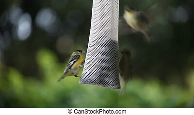 goldfinches fighting - several goldfinches fight for space...