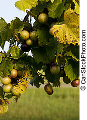 Grapevine - Delicious muscadine scuppernong grapes on a vine