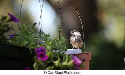 young bird does gymnastics - a chickadee navigates the wires...