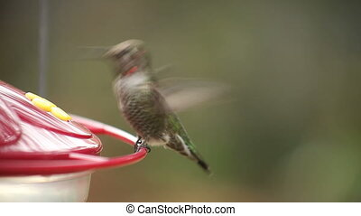 ruby-throated hummingbird at feeder - a hummingbird perches...