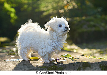 Maltese dog standing in the sun in park - A little white...