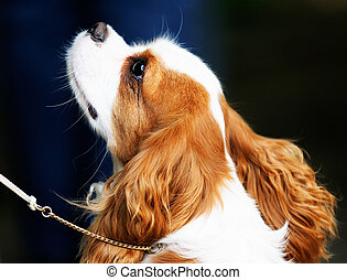 King Charles spaniel dog outdoor portrait over blurry...