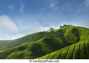 Tea Plantations at Cameron Highlands Malaysia, Asia