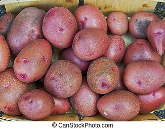 Crop of new red potatoes from the vegetable garden