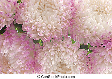 china aster background - Studio Shot of Pink and White...