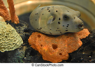 Black Spotted Pufferfish in Water