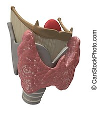 thyroid and larynx - 3d rendered illustration of human...