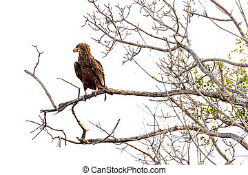 Bateleur Eagle on Branch - Isolated - Bateleur eagle in...