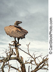 White-backed Vulture Perched on Tree Branch - White-backed...