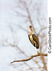 Marabou Stork in South Africa - Single maribou stork perched...