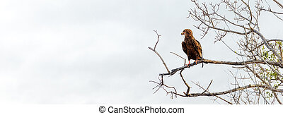 Bateleur Eagle in Tree - Horizontal Banner - Bateleur eagle...
