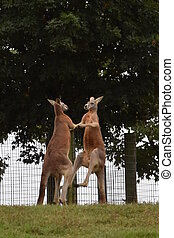 Kangaroo Fight