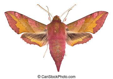 Deilephila porcellus - adult of Small Elephant Hawk-moth...