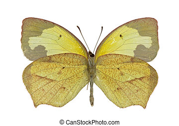 Eurema mexicana - adult male of Mexican Yellow Eurema...