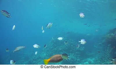 A large group of fish swim in the Red Sea in Egypt