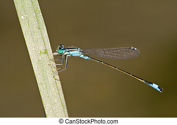 Ischnura elegans - Male of Blue-tailed Damselfly Ischnura...