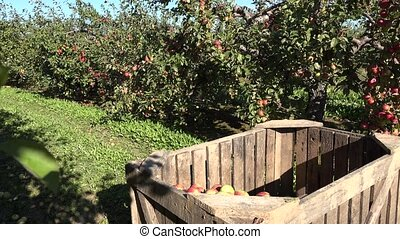 Wooden boxes with apples and workers harvest fruits in farm....