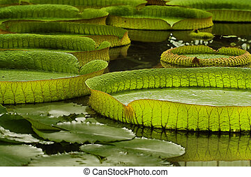 Victoria Regia, the world\'s largest leaves, of Amazonian...