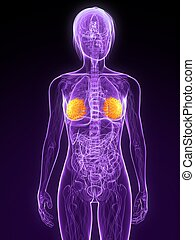highlighted mammary glands - 3d rendered illustration of a...