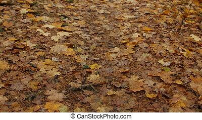 fall leaves in autumn park, day, camera tilt