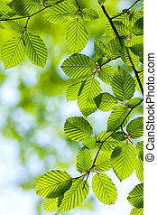 Beautiful, harmonious forest detail, with hornbeam leaves