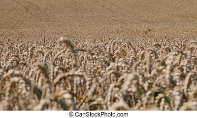 Large field of wheat swaying in the wind, rack focus.