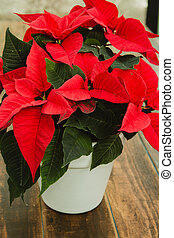 Christmas tratition flower - Beautiful red poinsettia on...