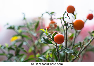 Small home tomato growing in the pot.