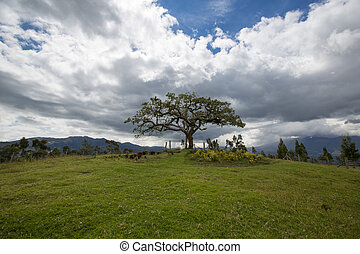 El Lechero, the sacred tree of Otavalo. This tree is part of...