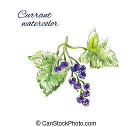 Blackcurrant watercolor, isolated - Blackcurrant watercolor