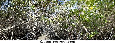 Wooden path way across the mangrove, Ecuador