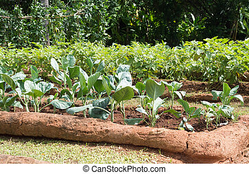 salad vegetable growing on plantation