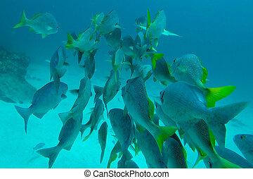 Shoal of Schoolmasters, Galapagos - Group of Shoal of...