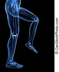 leg x-ray illustration