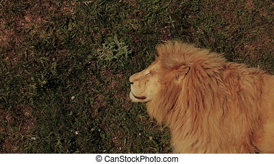 Lion sleeping on grass,