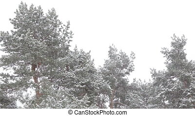 Tops of trees covered with snow
