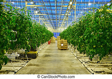 Tomato plantation in greenhouse - Tomato plantation in the...