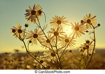 Marguerites on meadow at sunset. Summer flowers.