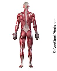 male muscular system - 3d rendered anatomy illustration of a...