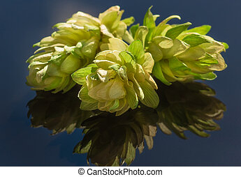 hop cones on a dark background - Green hop cones on a dark...